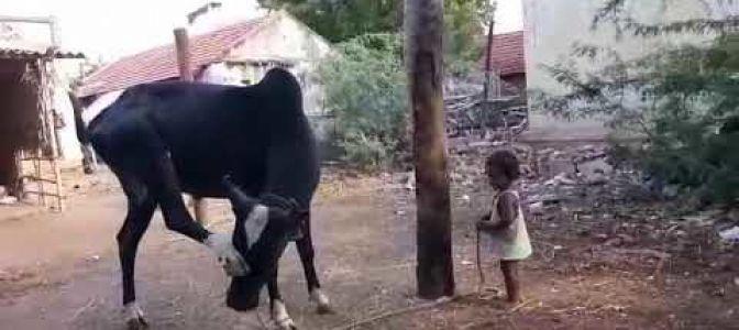 சிறுவனின் பாசத்திற்கு விளையாட்டு காட்டும் காளை!! (வீடியோ)